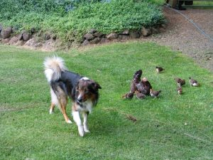 English Shepherd with chickens